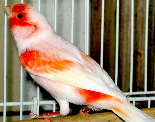 Mosaic Canaries For Sale Birds For Sale,mosaic Canaries